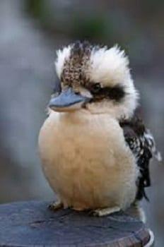 Kookaburra baby