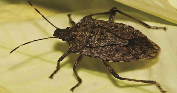 Photo is of a Brown Marmorated Stink Bug