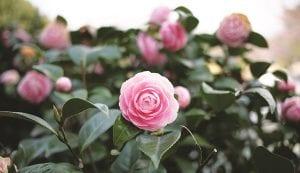 Camellia Time